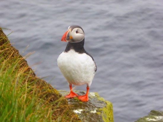 Latrabjarg, Islandia: Papageientaucher