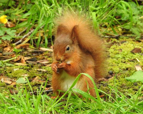 Newton Stewart, UK: Red Squirrel