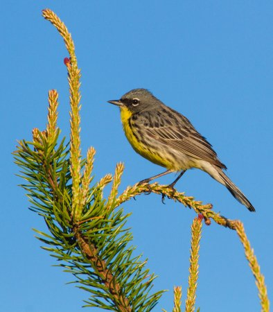 Woodland Motor Lodge : Kirtland's warbler, seen close by