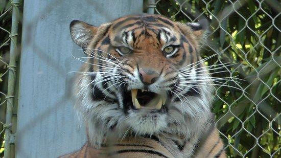 Point Defiance Zoo & Aquarium: Tiger!