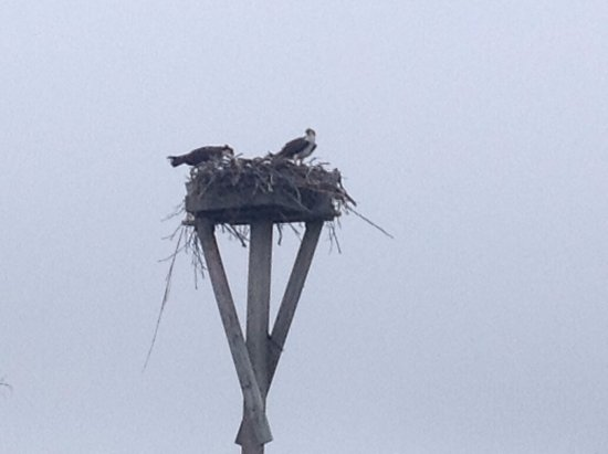 Monroe, VA: Osprey's right in front of our site