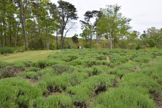 Cape Cod Lavender Farm: Lavender, not yet in bloom
