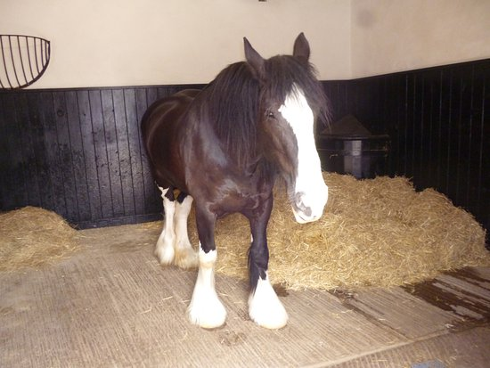 Driffield, UK: Shire Horse in Stable