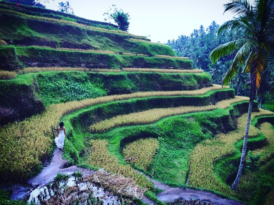 Lovina Beach, Indonesien: rice terrace tegalalang