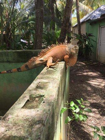 Cabarete, Dominicaanse Republiek: Iguana