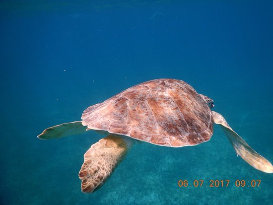 Oyster Pond, St Marteen/St. Martin : Sea Turtle swimming away