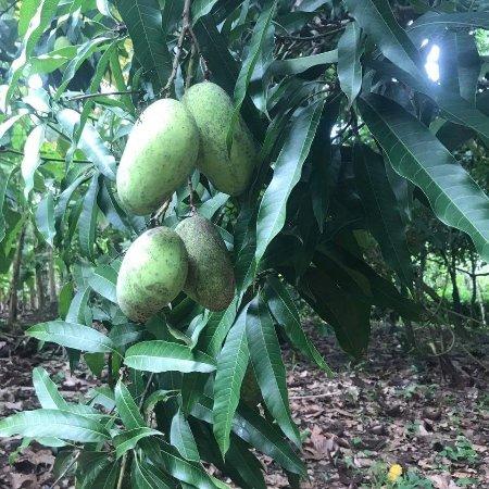 Cabarete, República Dominicana: Mango