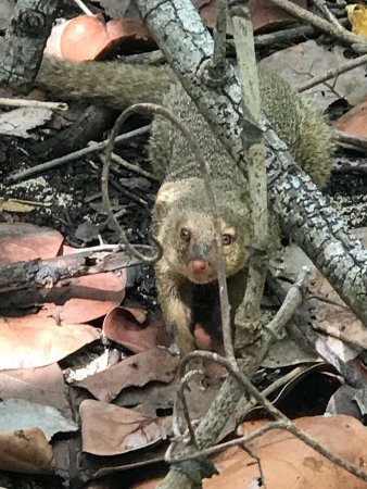 Christiansted, St. Croix: Mongoose waiting for handouts at BBQ