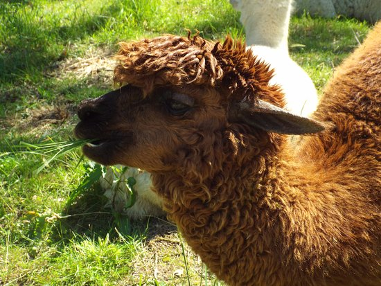 Portinscale, UK: A WALK THROUGH THE GARDEN, ALPACA LAUNCH, BUT DON'T GRASS ON ME