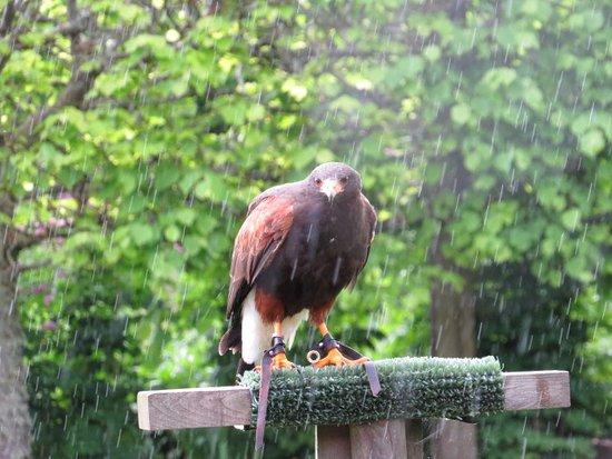 Invergordon, UK: Falcon Show