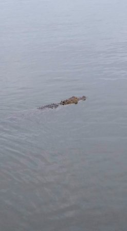 Saint Cloud, FL: Big gator keeping its distance which was fine with me.