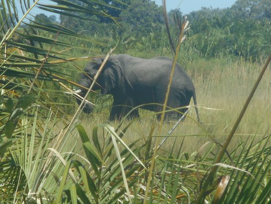 Maun, Botsuana: elephant