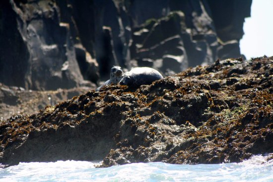 St Davids, UK: Atlantic grey seals