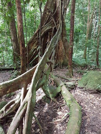 Daintree Region, Australia: Fabulous buttress roots