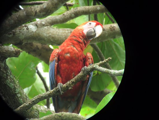 Hotel Cerro Lodge: The local scarlet macaw.