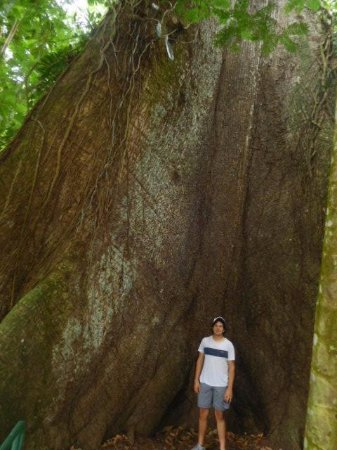 Province of Limon, Costa Rica: Look at the size of this ceibo tree, 200 years old!