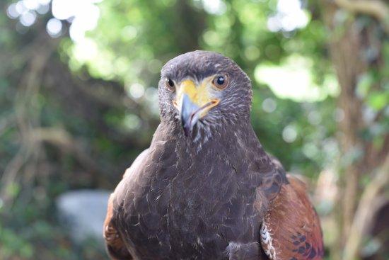 Kilmacthomas, Irlanda: Harris Hawk