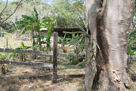Cardenas, นิการากัว: Banana trees at the finca