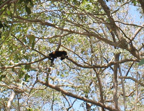 Cardenas, นิการากัว: Howler monkey