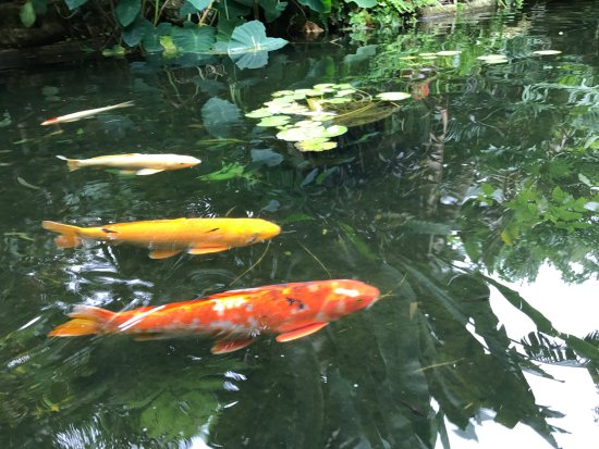 Marie Selby Botanical Gardens Koi Ponds