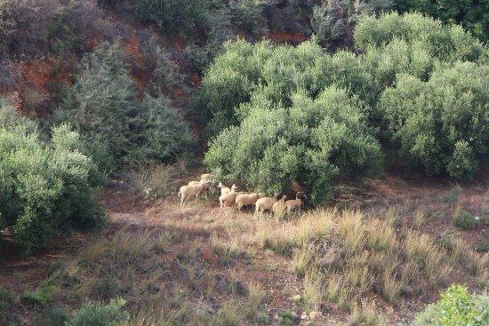 Parigoria, Grecia: Ovelhas no bosque de oliveiras em frente ao hotel.