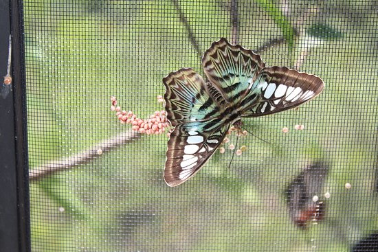 Quartier D'Orleans, St. Maarten-St. Martin: Another pretty butterfly.
