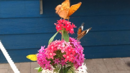 Bonville, Australia: Some of of the butterflies on set up flower display