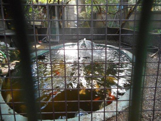 Dunsmuir, Californië: Koi pond