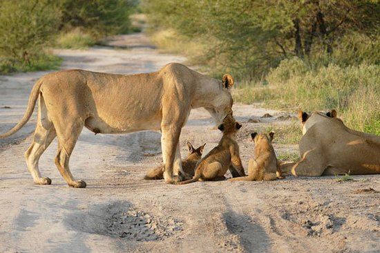 La Mara (rivière) : A lioness with it's cubs in the Maasai mara plains.