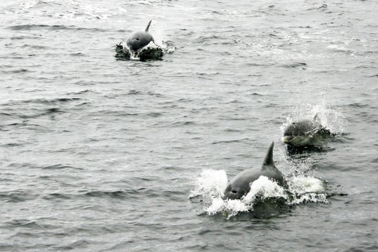 Leenane, Irland: The playful pod of dolphins folowing the boat