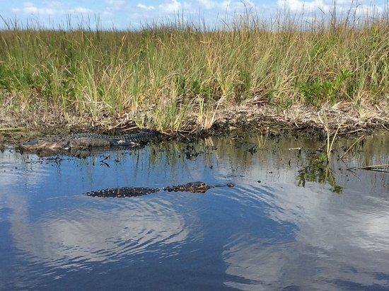 Coopertown Airboats: Alligator