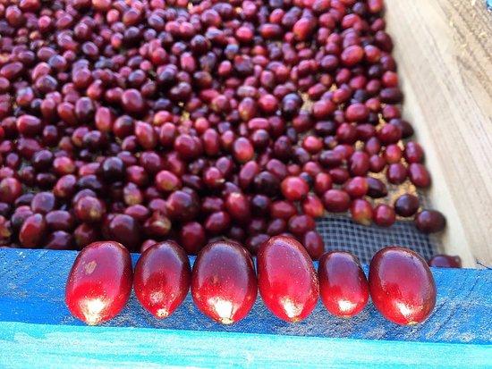 Lake Forest, IL: Pacamara coffee at farm level