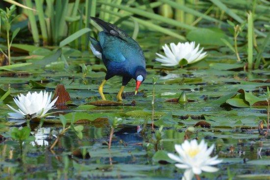 Cameron Prairie National Wildlife Refuge: Purple Gallinule