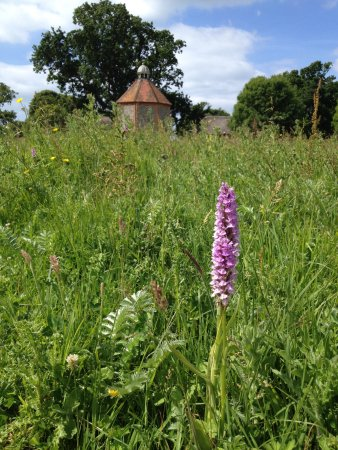 Climping, UK: Wild orchids at Bailiffscourt Hotel.