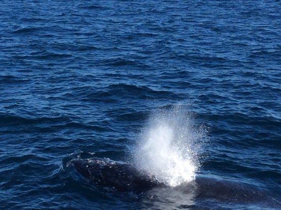 Albany, Australia: A hump back whale close to the boat