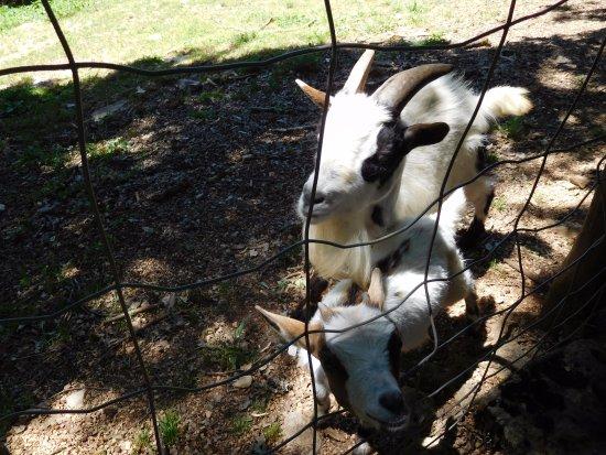 Gramat, Francia: Chèvres