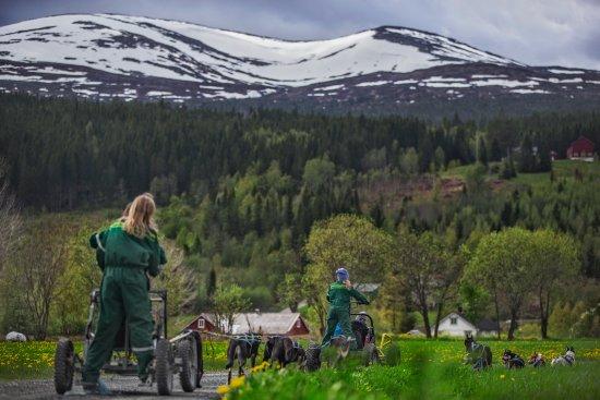 Nord-Trøndelag, Norge: Her kan du kjøre hundespann med vogner om sommeren.