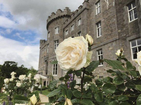 Collooney, Ireland: White roses.