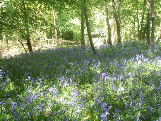 Halstead, UK: The bluebell woodland is at it's best in early May.