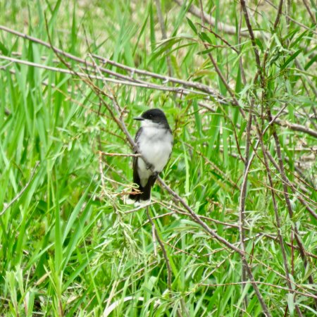 Bleriot Ferry: A Flycatcher that visits the ferry area