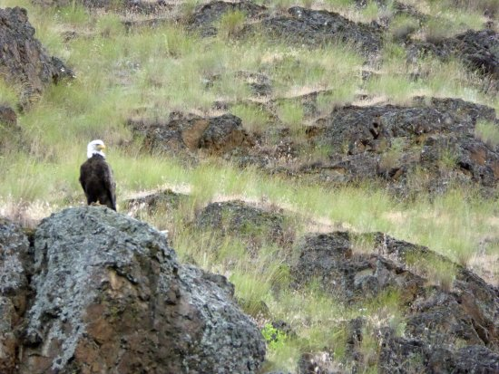 Riggins, ID: First eagle sighting