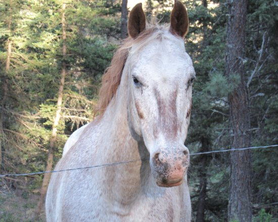 "Tererro, New Mexiko: ""Cochise"" the sure footed horse."