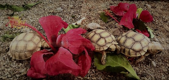 Dominical, Costa Rica: Baby turtles munching on hibiscus - adorable!