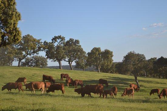 Villanueva de Cordoba, Spain: Cows and landscape