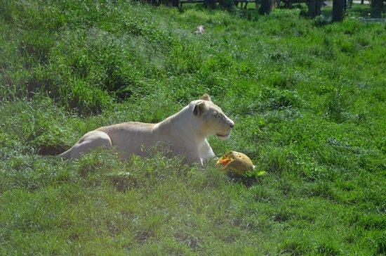 Hodonin, République tchèque : lev bílý