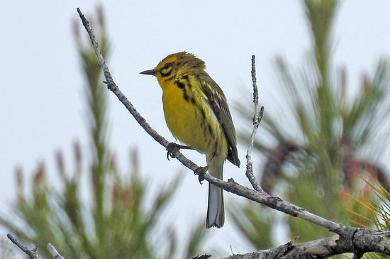 Honey Harbour, Канада: The Rare Prairie Warbler is found in this park!