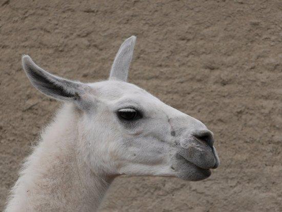 Vyškov, Česká republika: lama