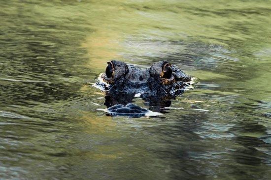 Daphne, ألاباما: Alligator along Gator Alley Boardwalk