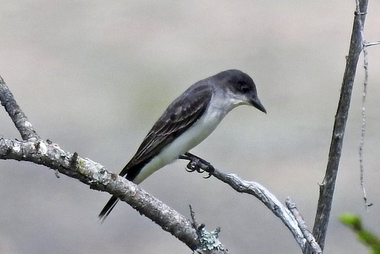 Honey Harbour, Канада: Eastern Kingbird, Beausoleil Island.