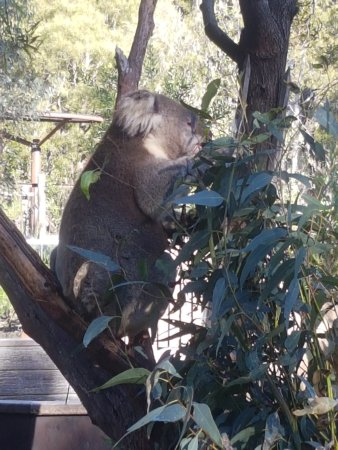 Healesville, Australien: Lots of Koala's to see